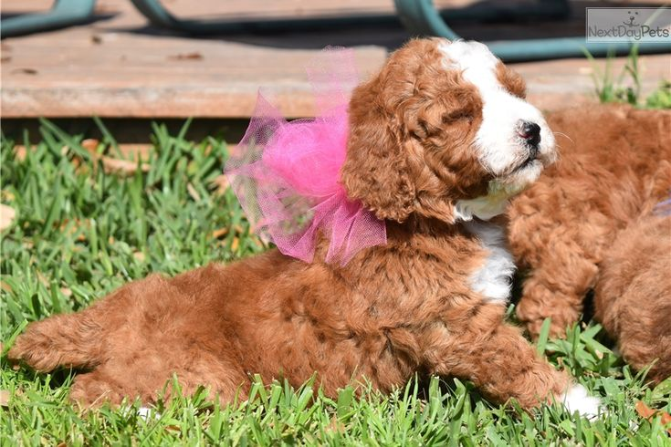 Red Lab Puppies For Sale Near Me Ideas