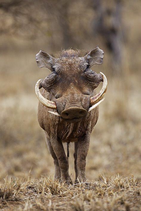 Phacochère - Phacochoerus aethiopicus - Warthog par Art Vandelay