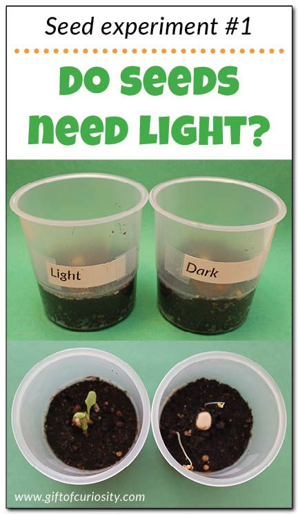 "Teach kids about the needs of seeds with this seed experiment that answers the question: ""Do seeds need light to grow?"" Part 1 in a series of seed experiments from Gift of Curiosity"