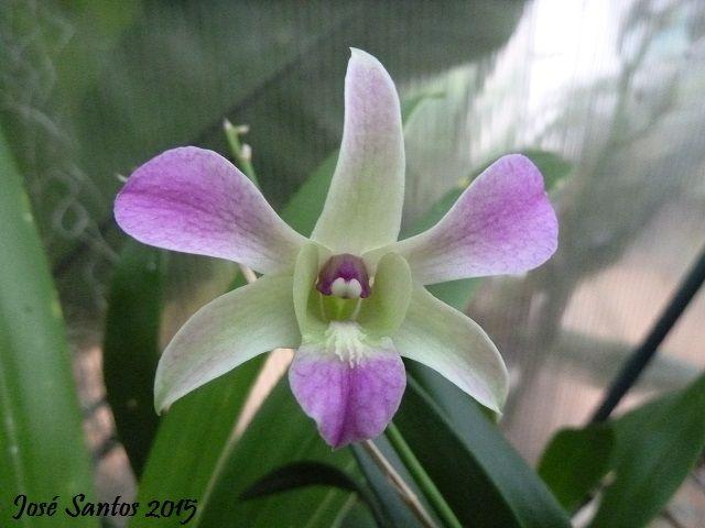Dendrobium phalaenopsis híbrido