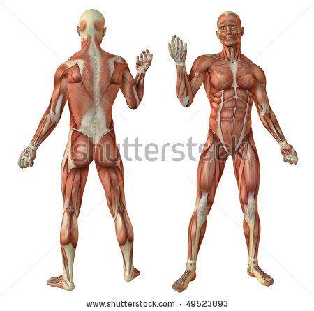 human muscle reference – citybeauty, Muscles