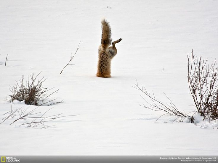 Thanks to its exceptional hearing this fox has identified a mouse hidden under two feet of snow.