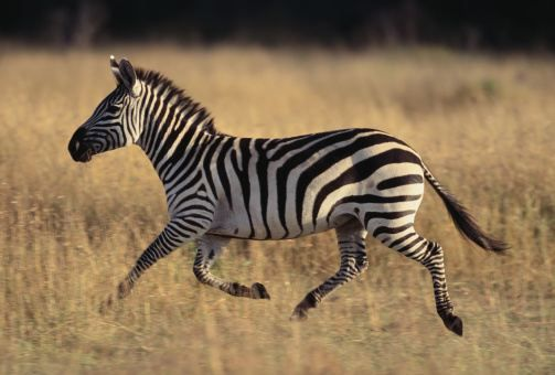 zebras running from predator - photo #18