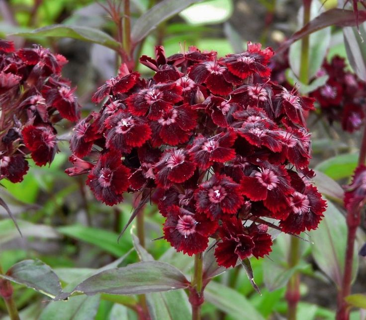 Maroon Garden Ideas: Dianthus Barbatus Var. Nigrescens