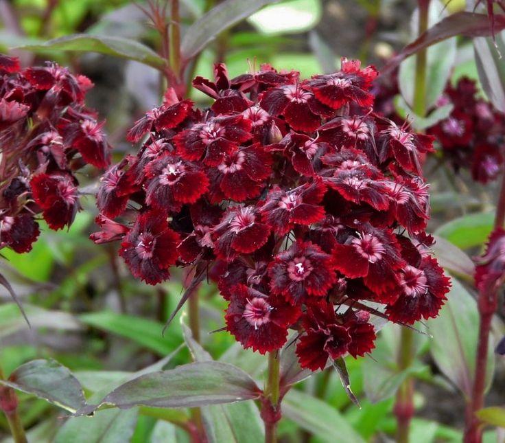 Dianthus barbatus var. nigrescens – BLACK SWEET WILLIAM ...
