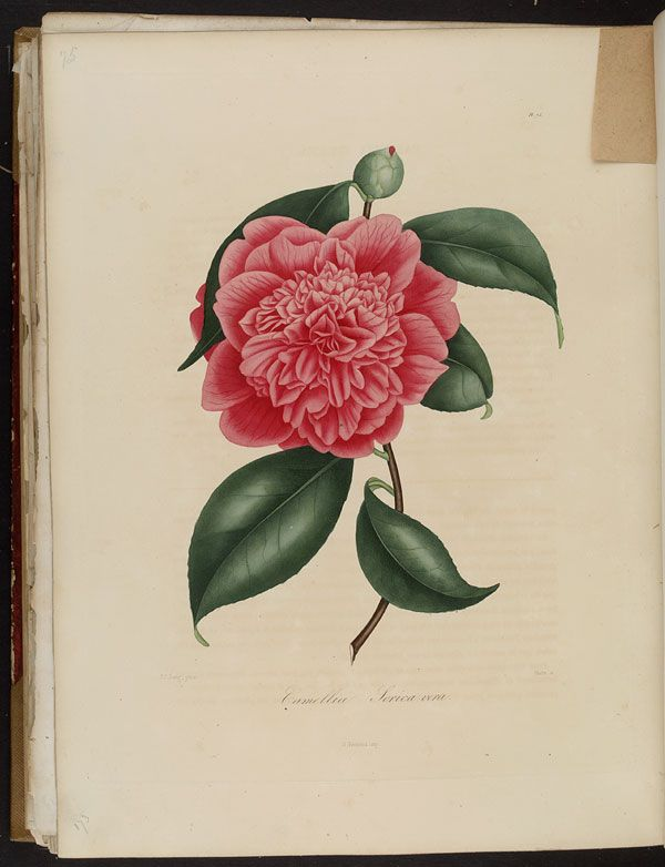 Image of Illustration of Camellia Sericea