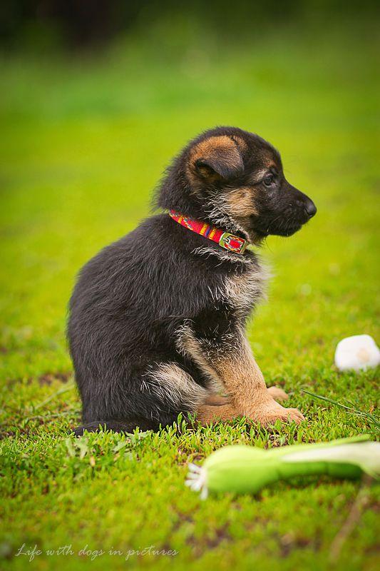Fotografia psów, sporty kynologiczne, wystawy psów, rasy psów, szkolenie psów.