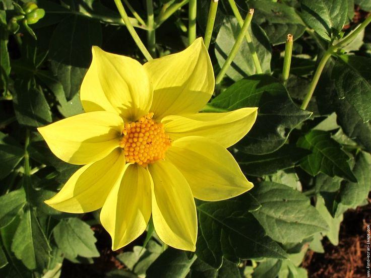 Chers amis connaisseurs en botanique et cher modérateur de FEI, je vous sollicite votre bienveillance. En effet, bien que cette fleur soit connue, je n'ai pas réussi à trouver une photo qui lui ressemble :12: Malgré tout, comme je devais choisir une rubrique, j'ai choisi une fleur jaune de millepertuis. Mais comme ma fleur jaune est belle comme un soleil, je vous l'offre pour débuter ce jour nouveau ! :19: :18: