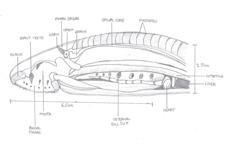 Lamprey external anatomy