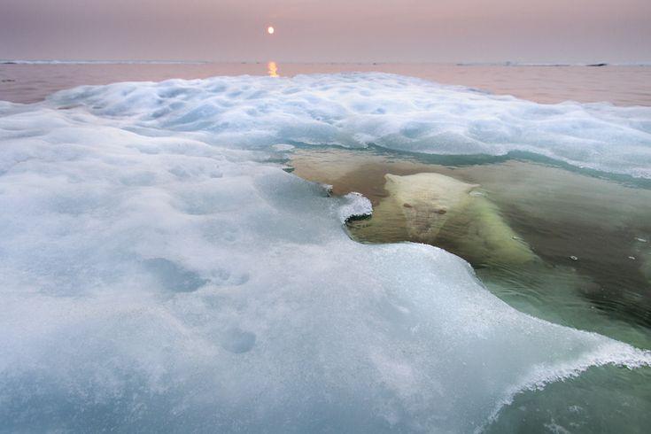 Baia di Hudson in Canada, fotografato dopo tre giorni di appostamenti a metà estate. © Paul Souders/ Wildlife Photographer of the Year