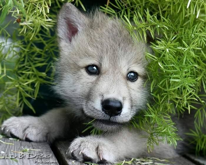 Image result for wolf pup
