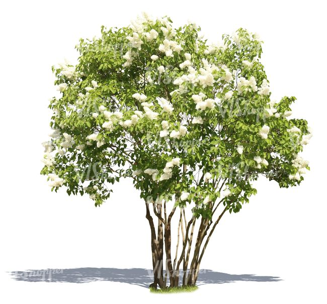 A cut out blooming white lilac