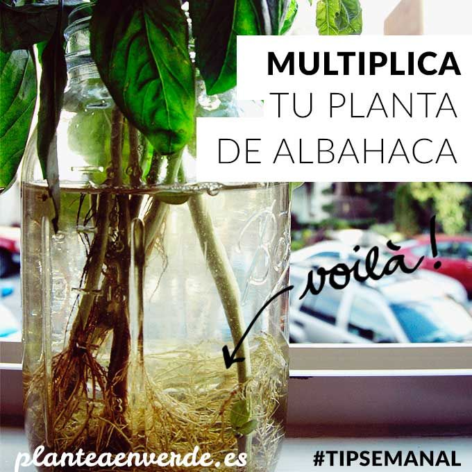 Aprende a reproducir albahaca. #huertos