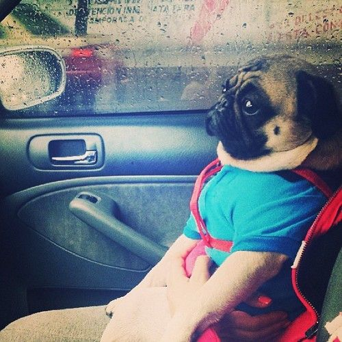 Little pug goes for a ride