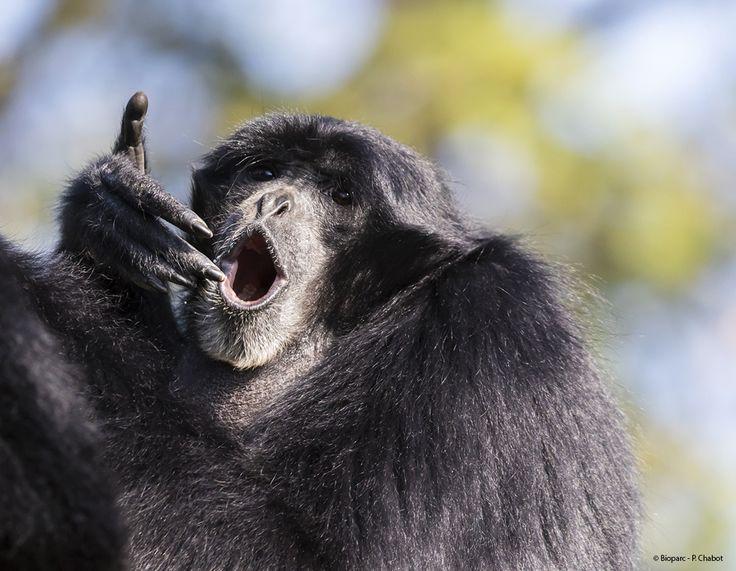 Le gibbon siamang possède un sac laryngien en guise d'amplificateur lui permettant de faire entendre son chant jusqu'à 2 km.