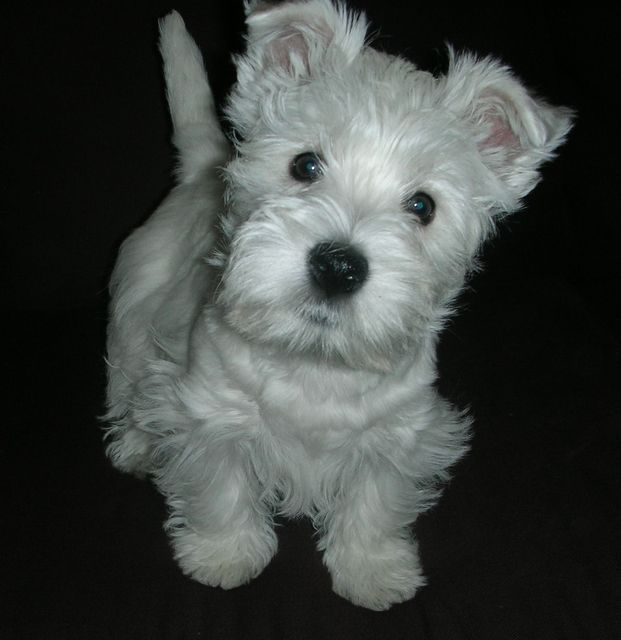 Mommy Says I Look Like A Stuffy Animal Scotties And Westies