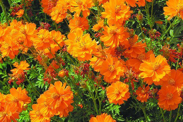 Однолетние цветы для украшения дачи — 6 соток