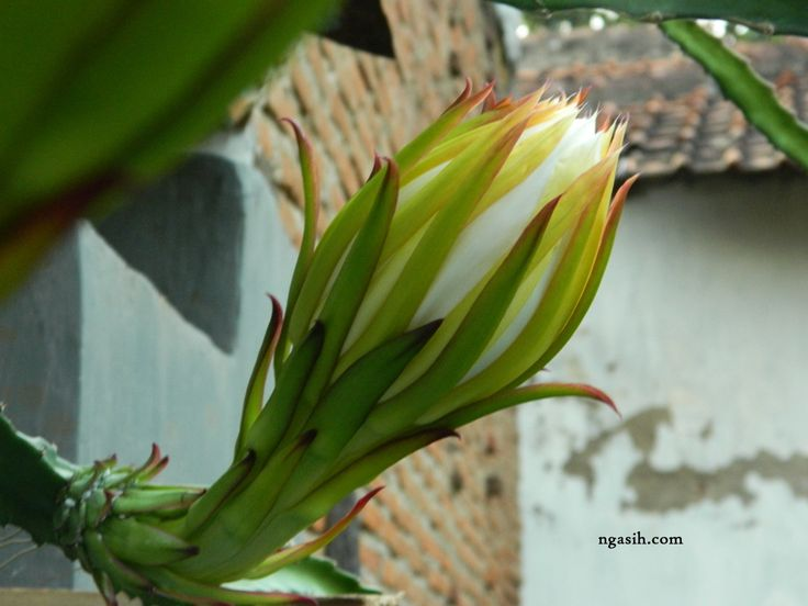 Dragon Fruit Flower Stages