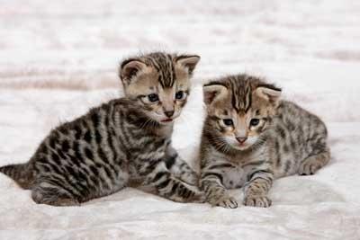 savannah kittys!