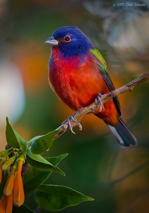 ~~Beginning of the season ~ Painted Bunting by Chris Johnson~~