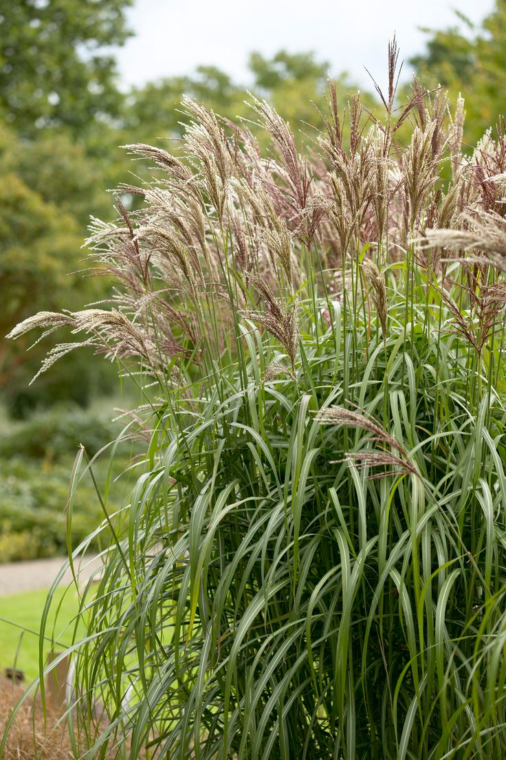 107 best landscape plants images on pinterest monrovia for Tall grass plants