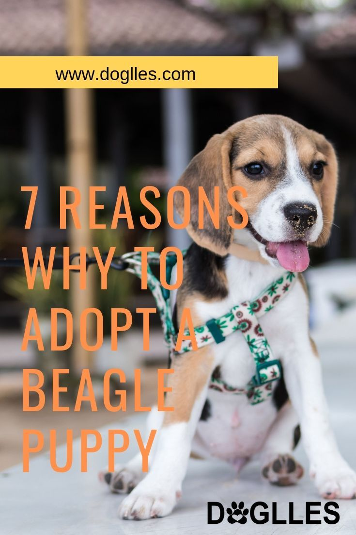 7 Reasons Why To Adopt A Beagle Puppy Beagle Puppy Beagle Dog