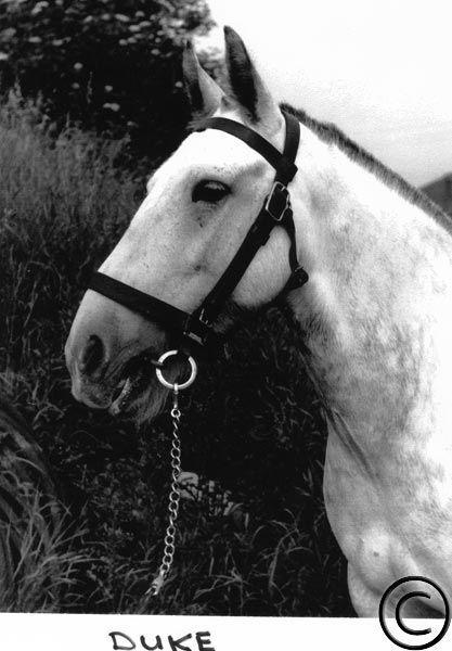 Kiveton Park & Wales History Society - Gallery Welsh pit pony, Duke, circa 1948