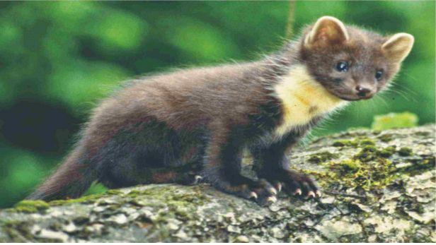 Popular De boommarter of edelmarter is een Europese marter Hij is vooral in bosrijk terrein te