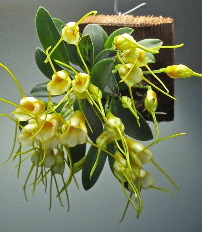 masdevallia orchid mounted on wood plaque - very cool