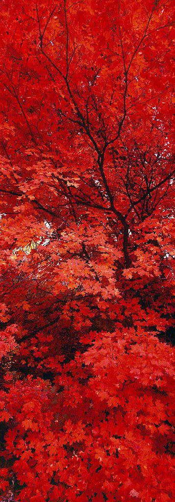 紅葉 Japanese Maple-red trees