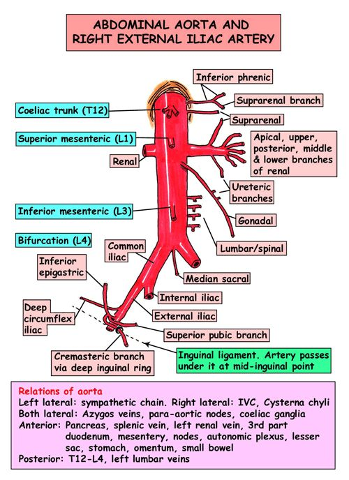 12 The descending (abdominal) aorta and its main branch ...