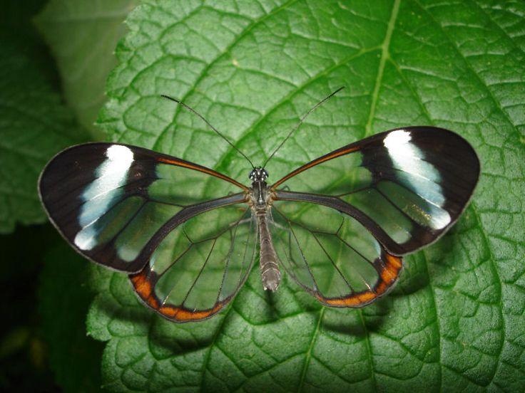 Fotos impressionantes da borboleta transparente (19 fotos) - Metamorfose Digital
