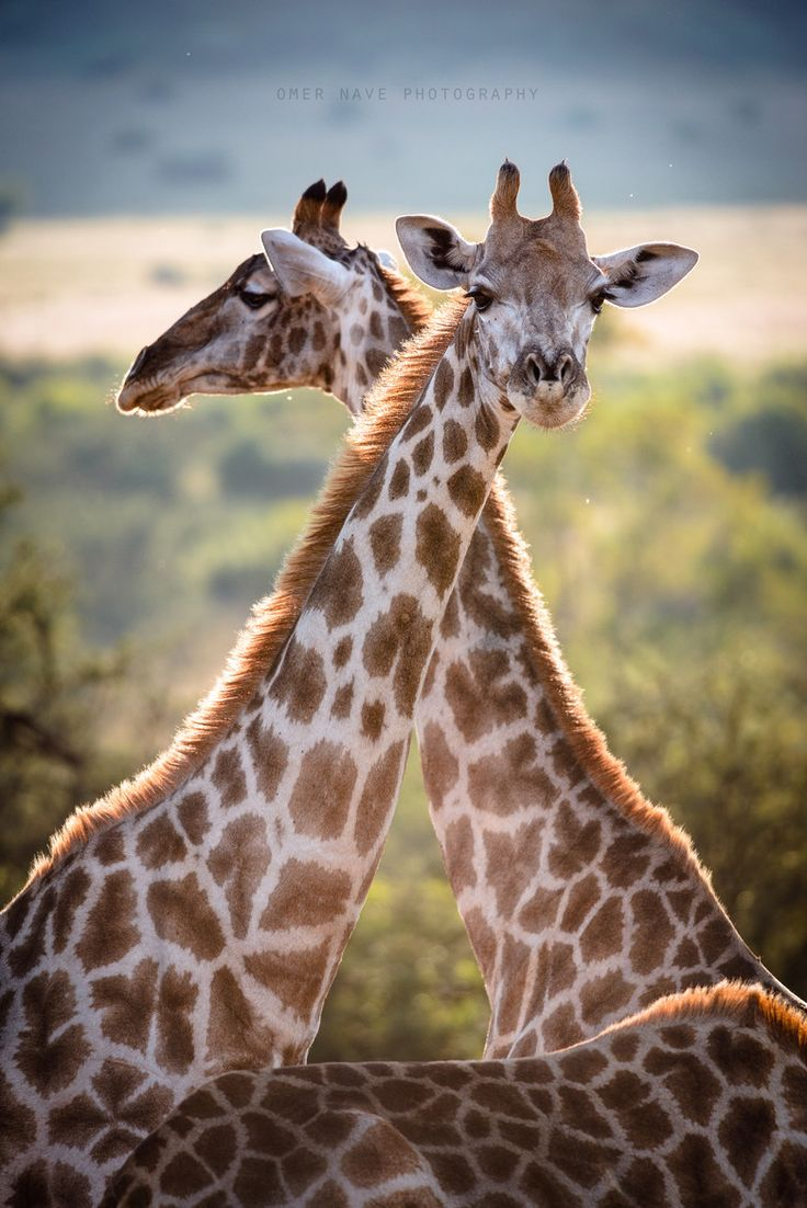 giraffes (via 500px / Nature's Triangle by Omer Nave)