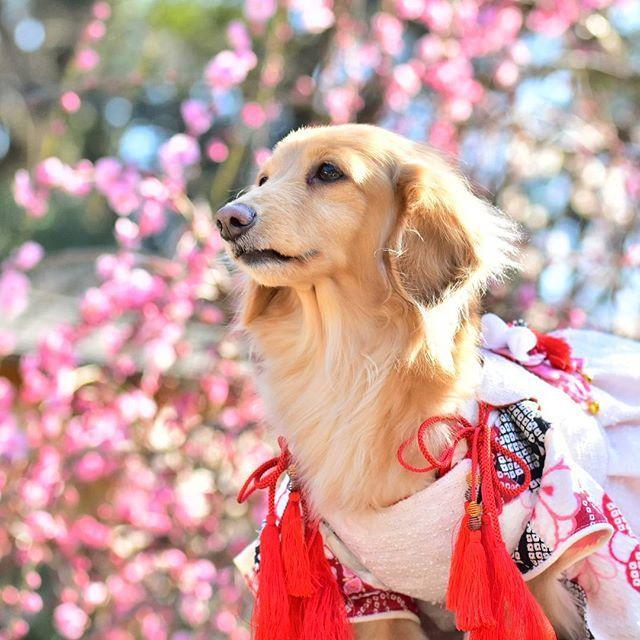 ***** . 太宰府の梅も思ったほど咲いてなくて💦 . お花の満開時期って難しいね。 . @nanakoseven2016 天音ちゃん . . #todayswanko #dogstagramms #cute #wooftoday #cutepets #dogphotography #dog #愛犬 #カニンヘンダックス #ダックスフンド #dachshund #doxie #닥스훈트 #love #お散歩 #撮影会#dogwalk #inulog #instadog #横顔わんこ部 #happy #ファインダー越しの私の世界 #楽しい時間 #梅 #kimono #plumblossom #青空 #お友達わんこ #beautiful