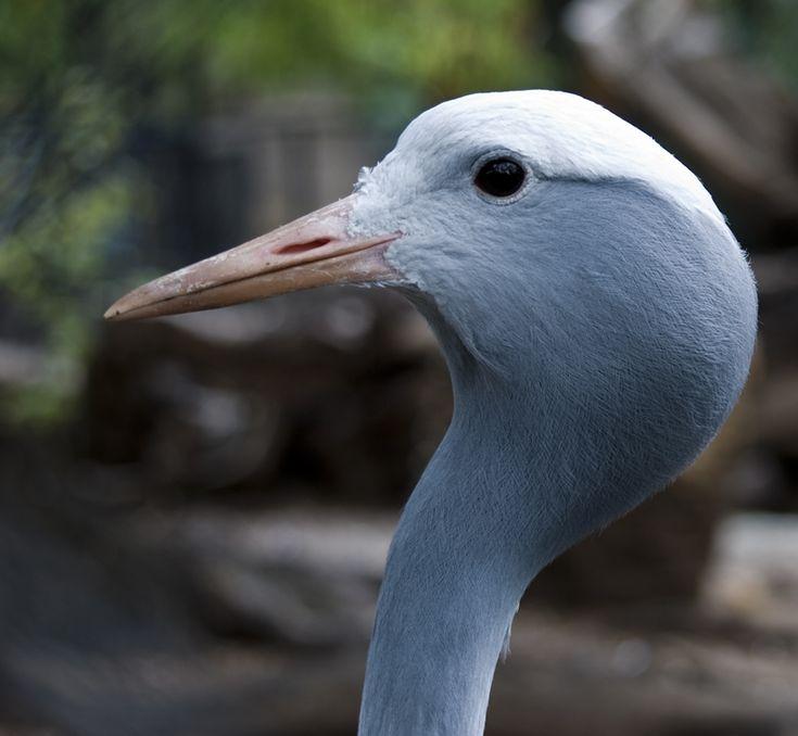 20 Best Blue Crane Images On Pinterest