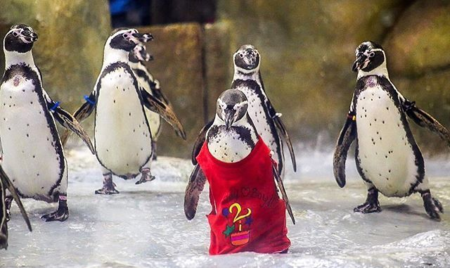 @trellingmumbai 's top picks of the day. . .  Birthday boy! Mr Molt wears a bright red hand- painted tshirt on his 2nd Birthday at Byculla Zoo on 21st July,2017. The authorities had also arranged a special Blast frozen Fish and Ice cake of his favourite fish Bombay Ducks. . . Featured Artist: @emmanual_09 . . Use #trellingmumbai and tag us to get featured
