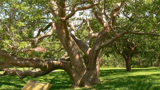 Located on the campus of the University of Tampa, which sits along the Hillsborough River in downtown Tampa, the De Soto Oak is one of the oldest historical sites in the country.
