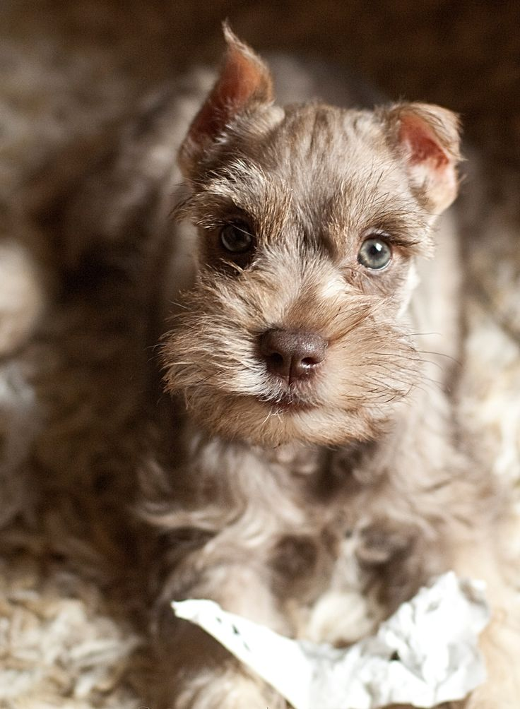 Mini Schnauzer - I've never seen a blue eyed schnauzer, beautiful!