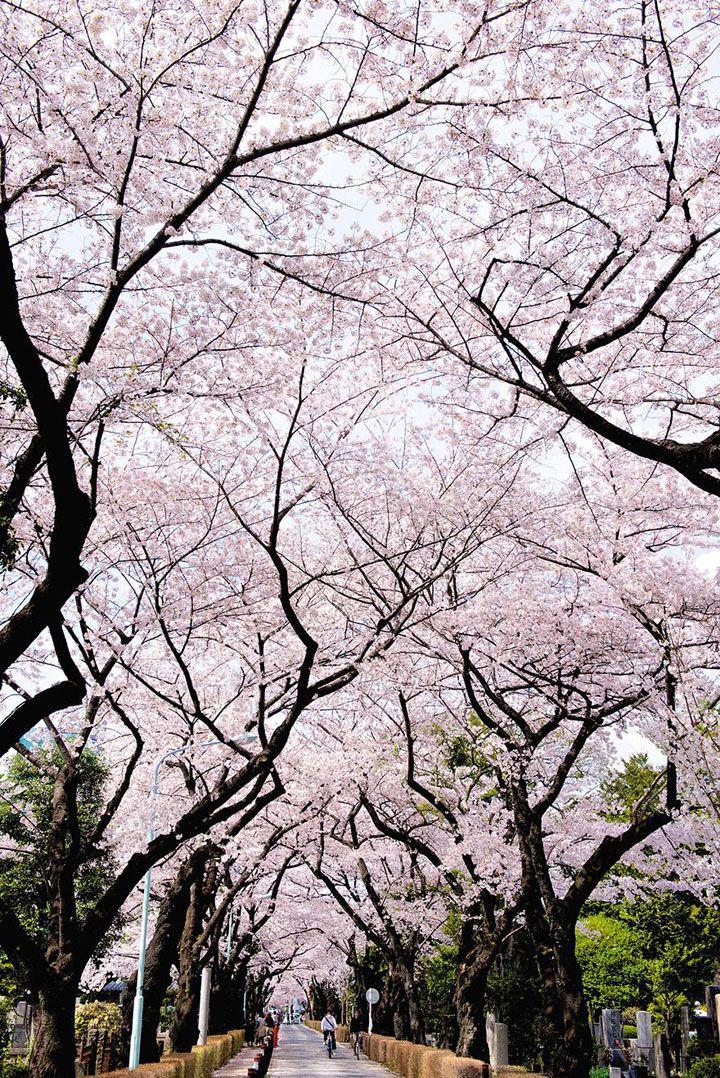 Profitez d�un peu de s�r�nit� en contemplant ces cerisiers en fleur marquant le renouveau du printemps au Japon