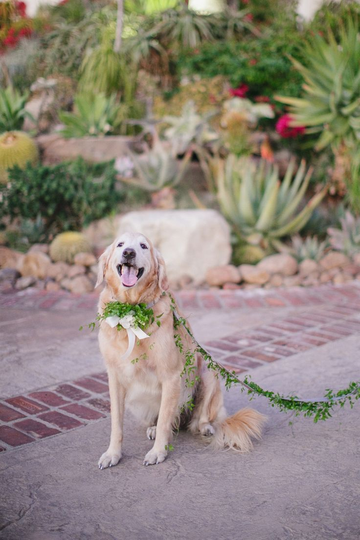 The couple's golden retriever, Lacy, served as an adorable ring bearer during the wedding ceremony. She wore a collar and leash adorned with natural greenery for the outdoor occasion. #ringbearer #goldenretriever  Photography: Jasmine Star Photography. Read More: http://www.insideweddings.com/weddings/spanish-style-ceremony-outdoor-ranch-wedding-reception/504/