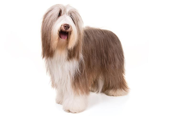 Bearded Collie Dog Breed Information Dog Breeds Akc Dog Breeds