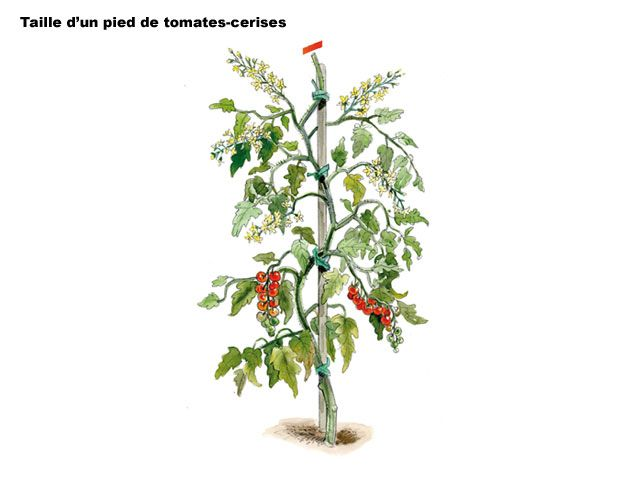 25 best ideas about pied de tomate on pinterest - Planter tomates cerises en pot ...