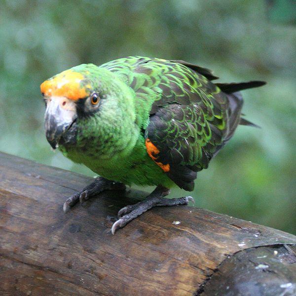 Jardine Apartments: 29 Best Images About Jardine's Parrot On Pinterest