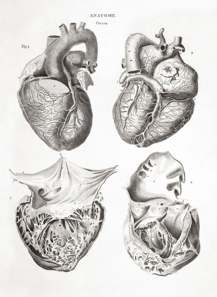 25 Best Anatomical Illustrations Images On Pinterest Human Anatomy