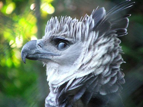 """This is a photo of the Harpy Eagle, a bird of prey usually inhabits tropical lowland rainforests in the upper canopy layer. """