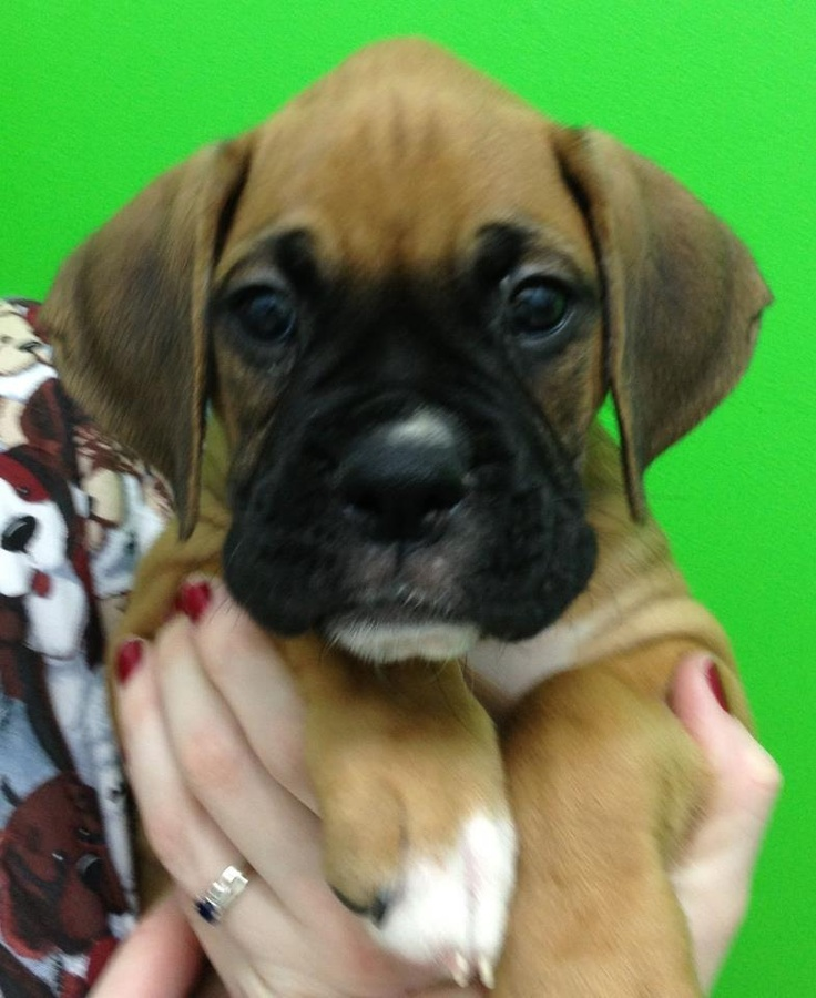 Chevy an adorable 7 week old boxer puppy Boxer puppies