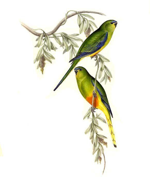 Orange Bellied Parrot Neophema Chrysogaster John Gould