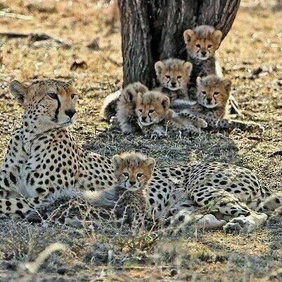 Only 20% of cheetah cubs live to maturity...