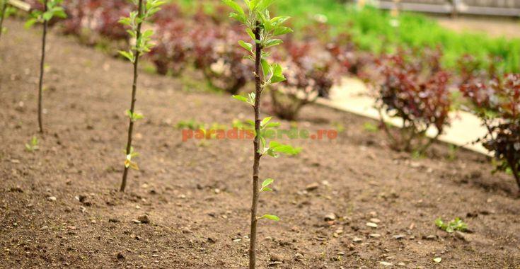 Îngrijirea pomilor nou-plantați | Paradis Verde