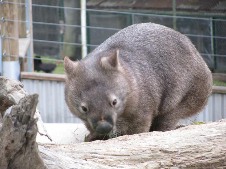 Wombat - Lone Pine Koala Sanctuary